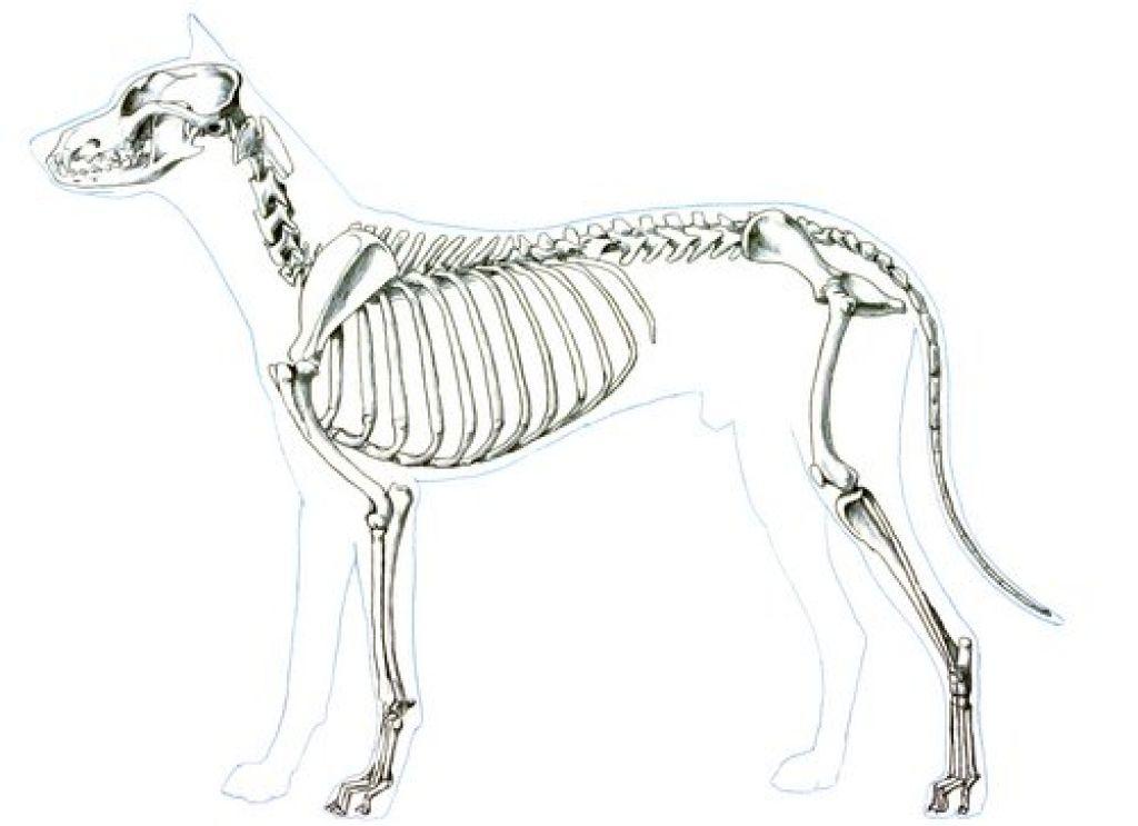 Анатомия собаки скелет животного