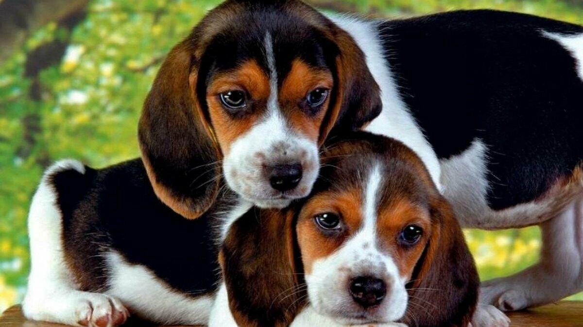 дешевые породы собак
