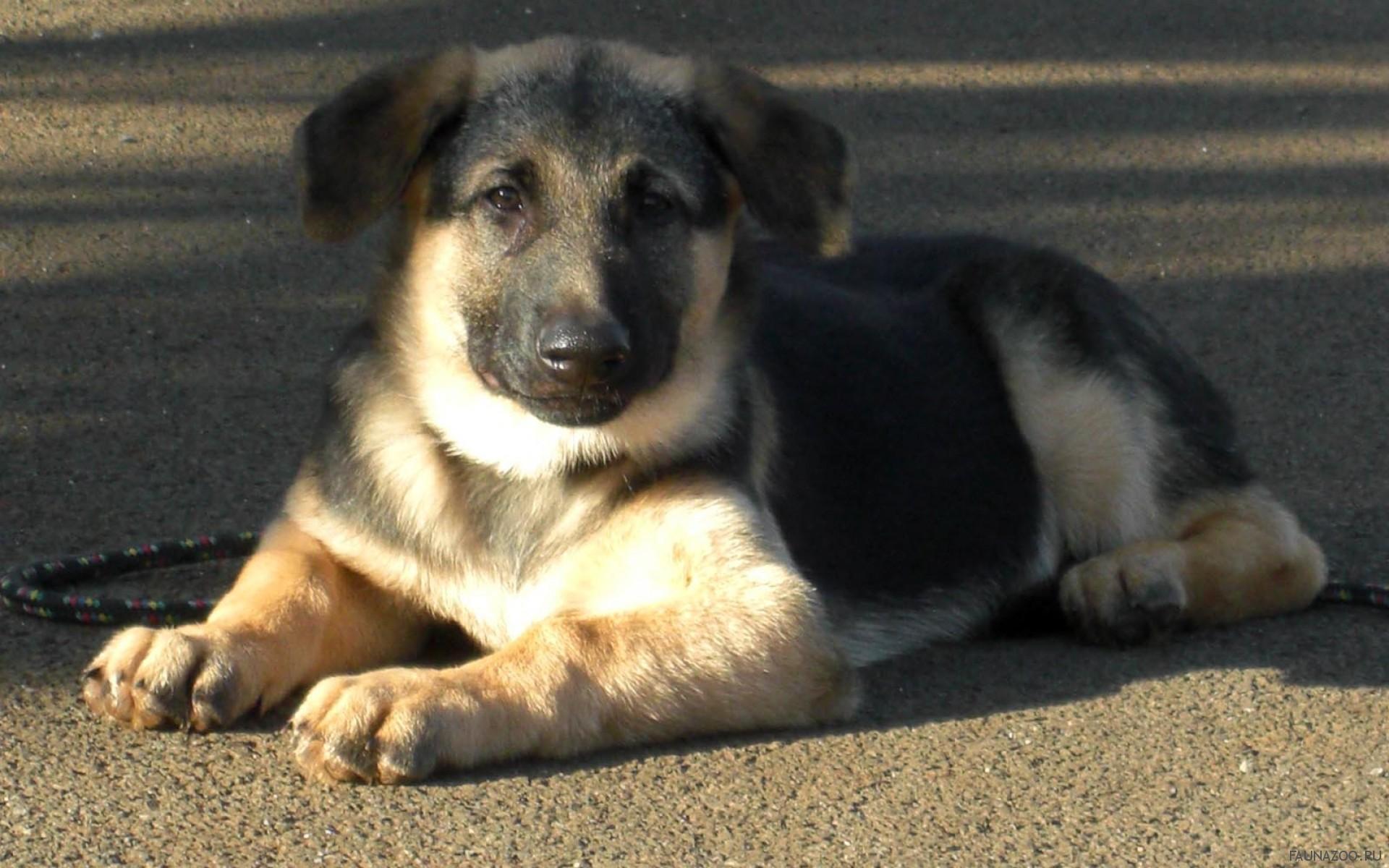 дворняжка или породистая собака