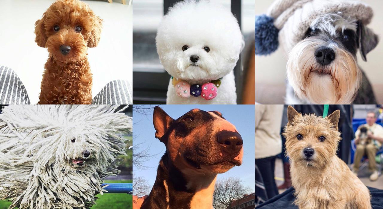 Гипоаллергенные собаки для аллергиков и астматиков