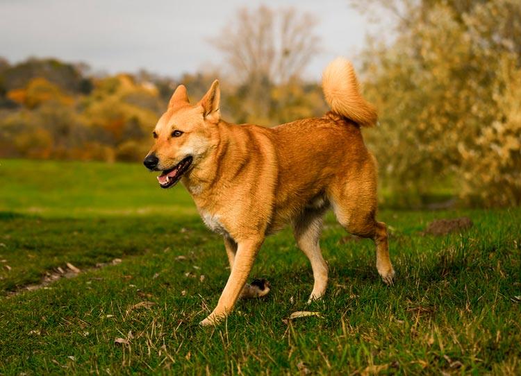 ханаанской собака