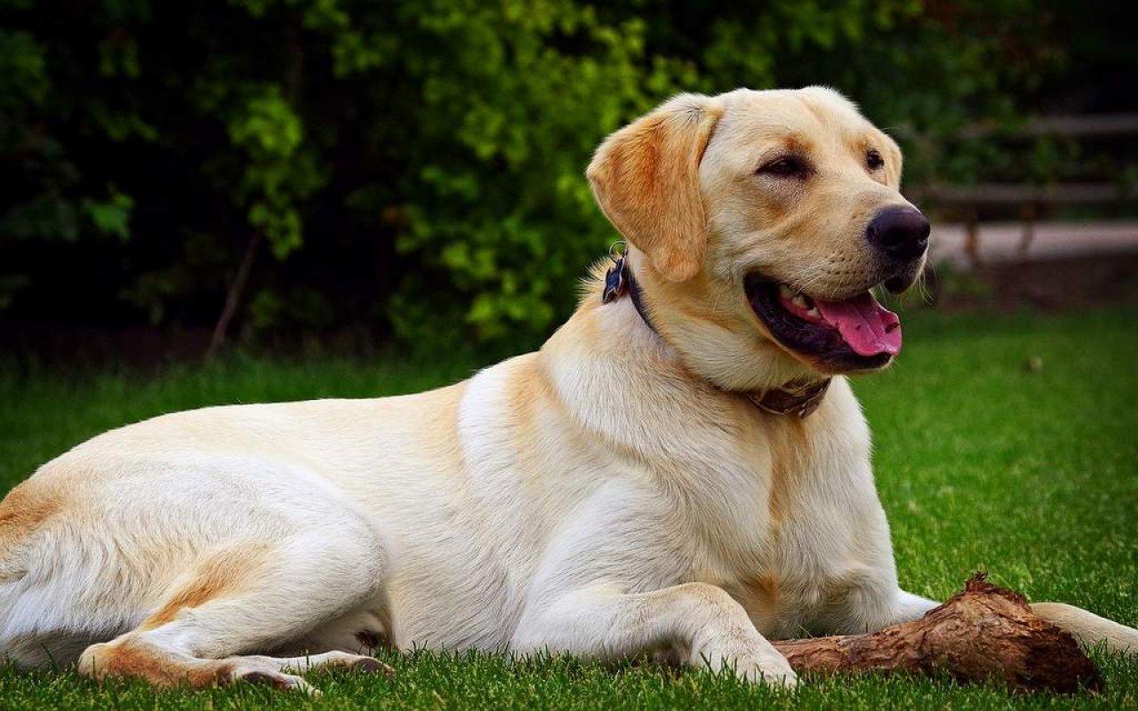 Лабрадор-ретривер добрая порода собак