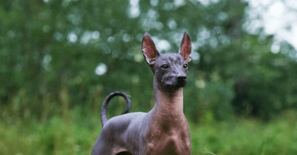 Мексиканская хохлатая собака Ксолоитцкуинтли