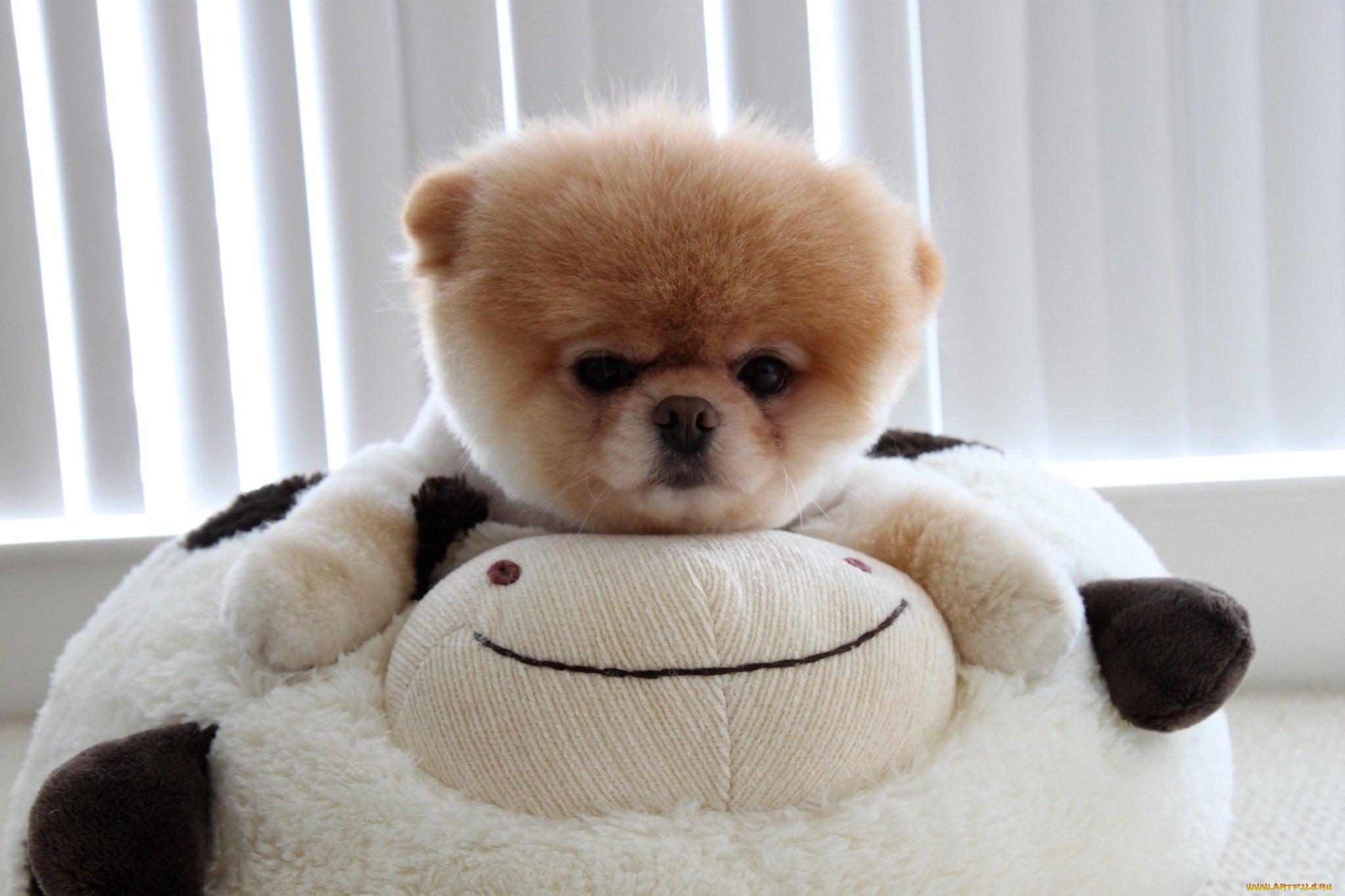 собаки похожие на плюшевые игрушки