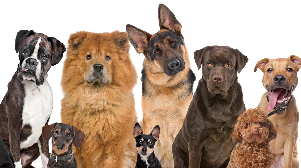 популярные породы собак в России