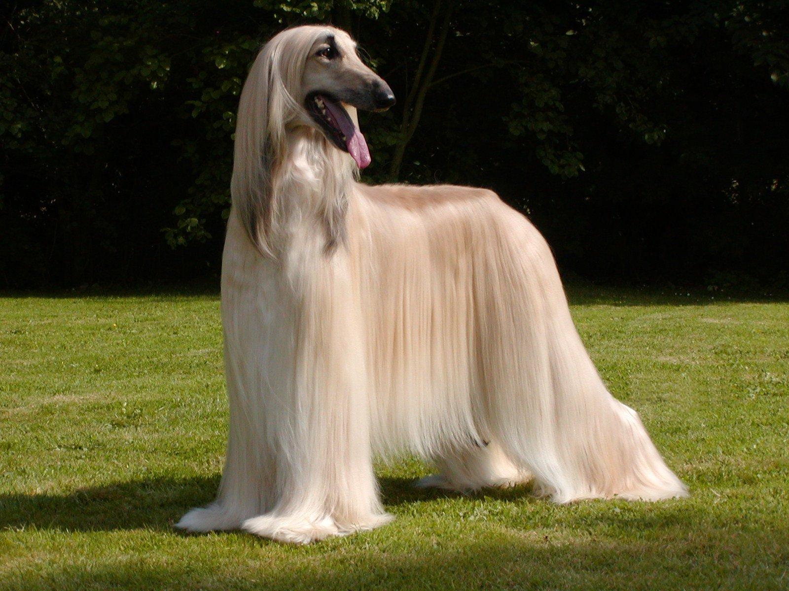 Породы собак с длинными волосами