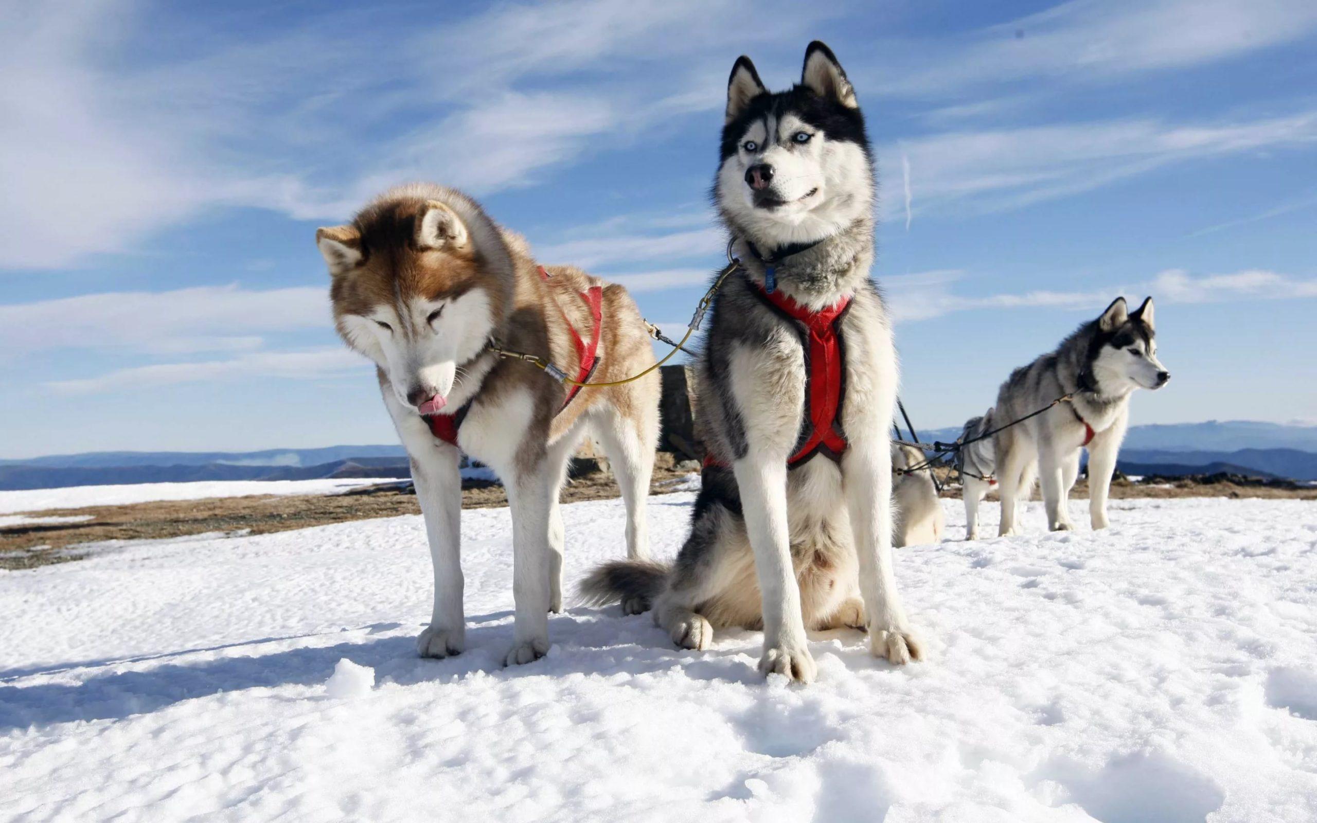 Северные ездовые собаки