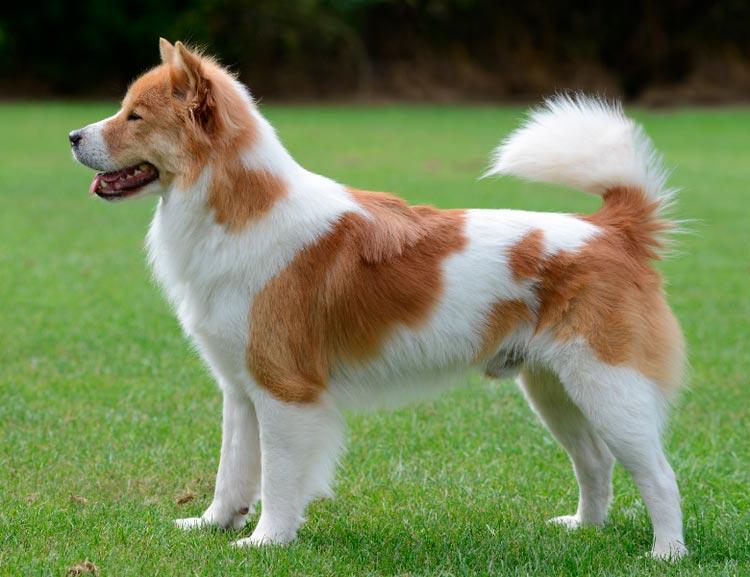 Тайская бангкау собака
