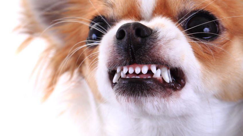 Агрессия маленьких собак