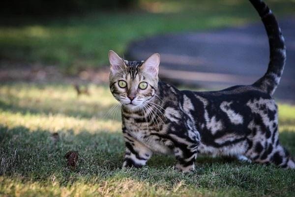 Бенгальская кошка мраморного окраса