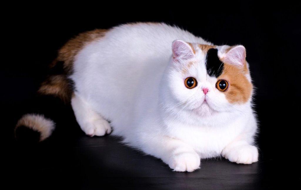 экзотика кошка