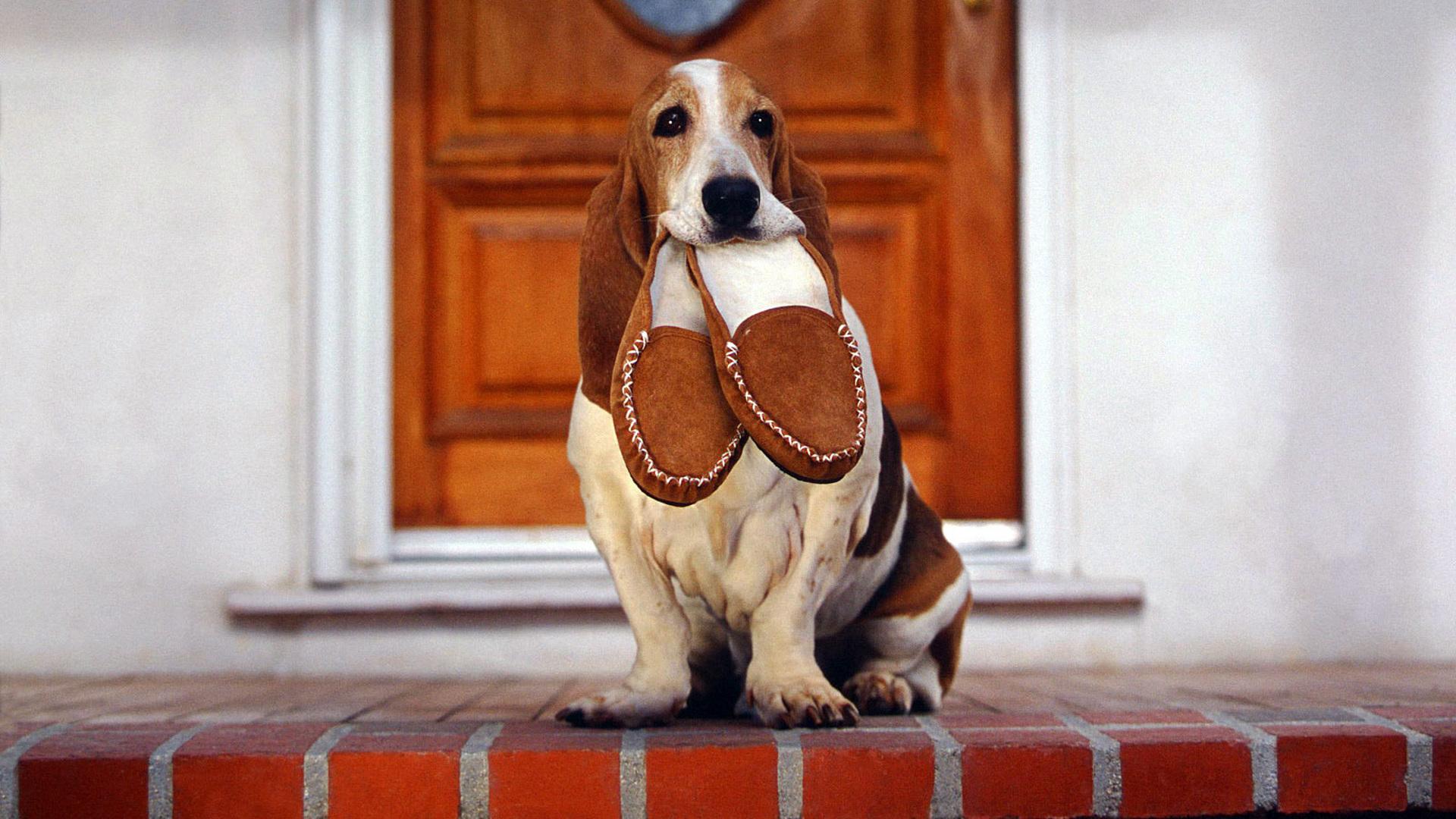 Как приучить взрослую собаку к новому хозяину