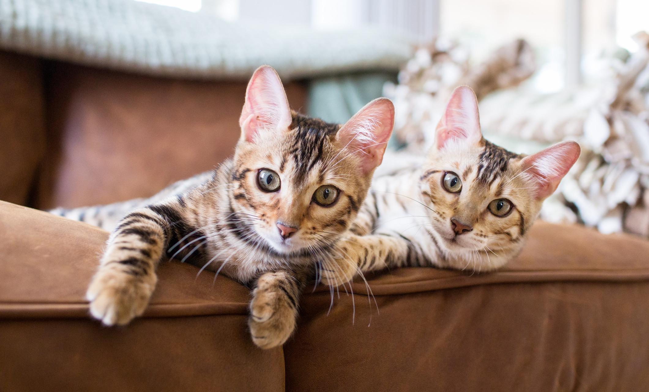 Какую породу кошек выбрать для дома