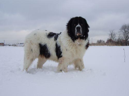 Каракачанская медвежья собака