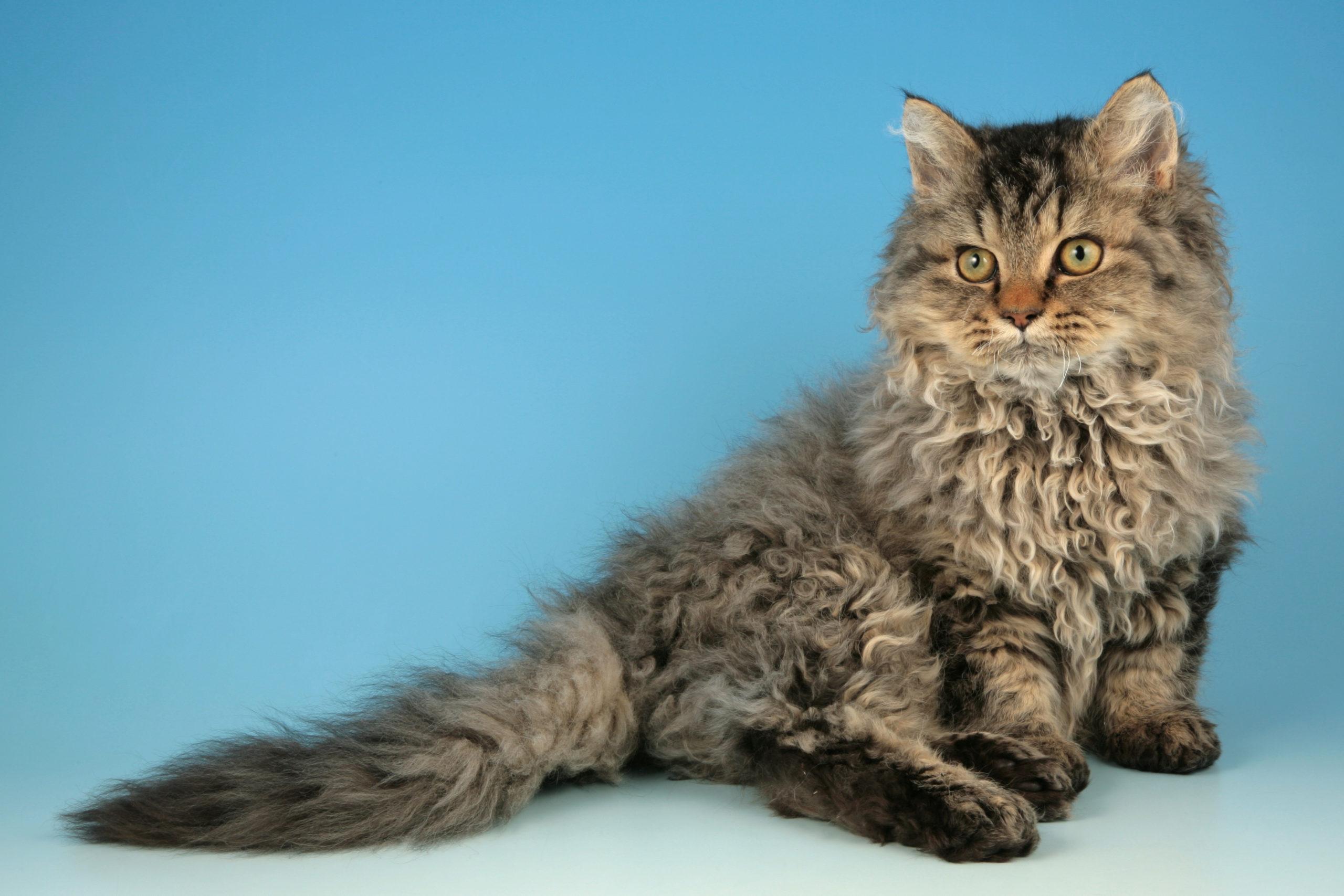 Кудрявые породы кошек