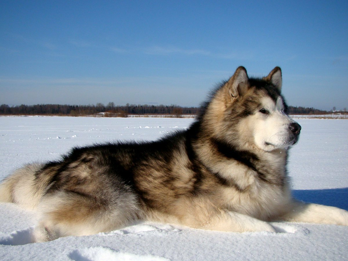 Собаки похожие на хаски