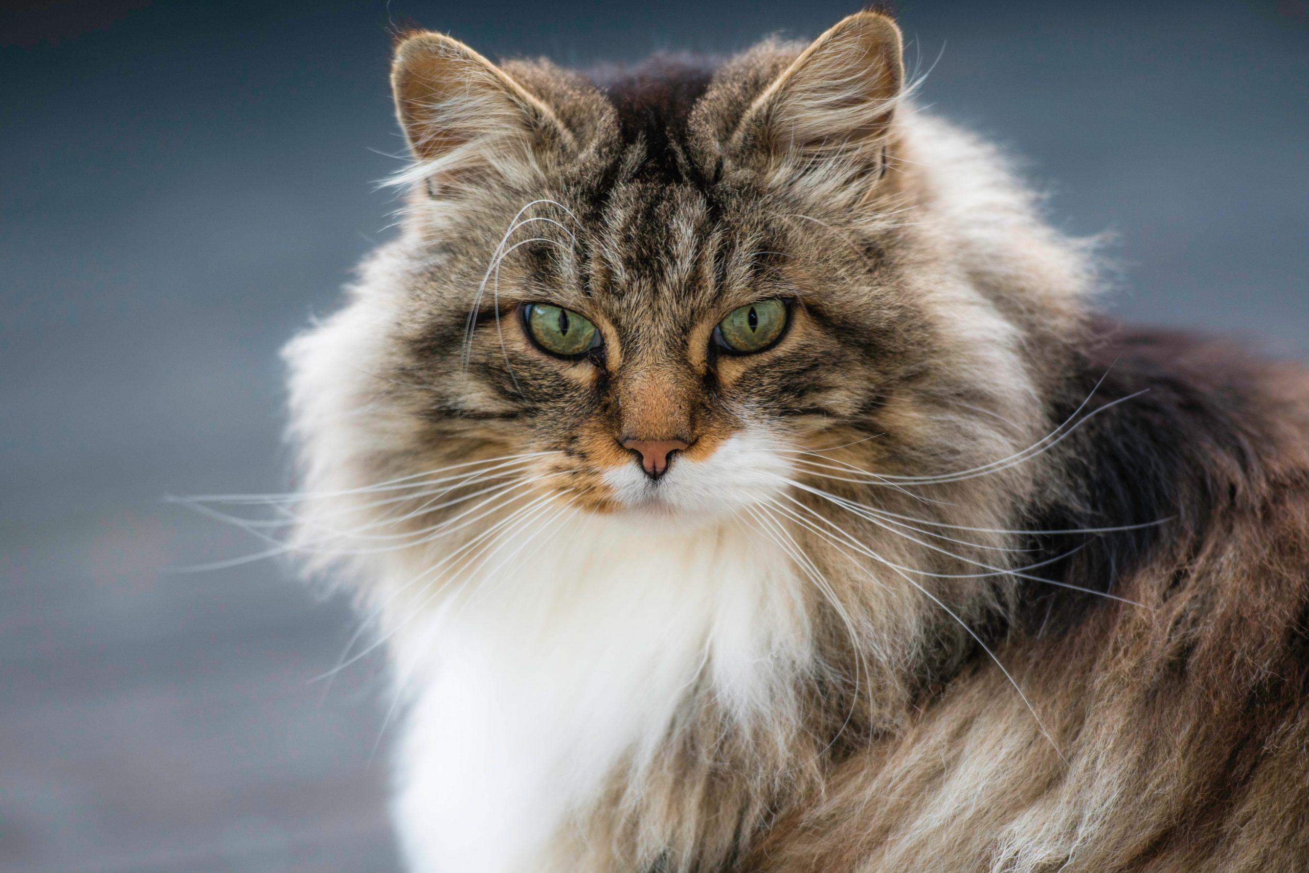 Норвежская лесная самые умные породы кошек
