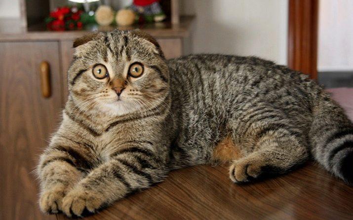 окрас шотландских вислоухих кошек
