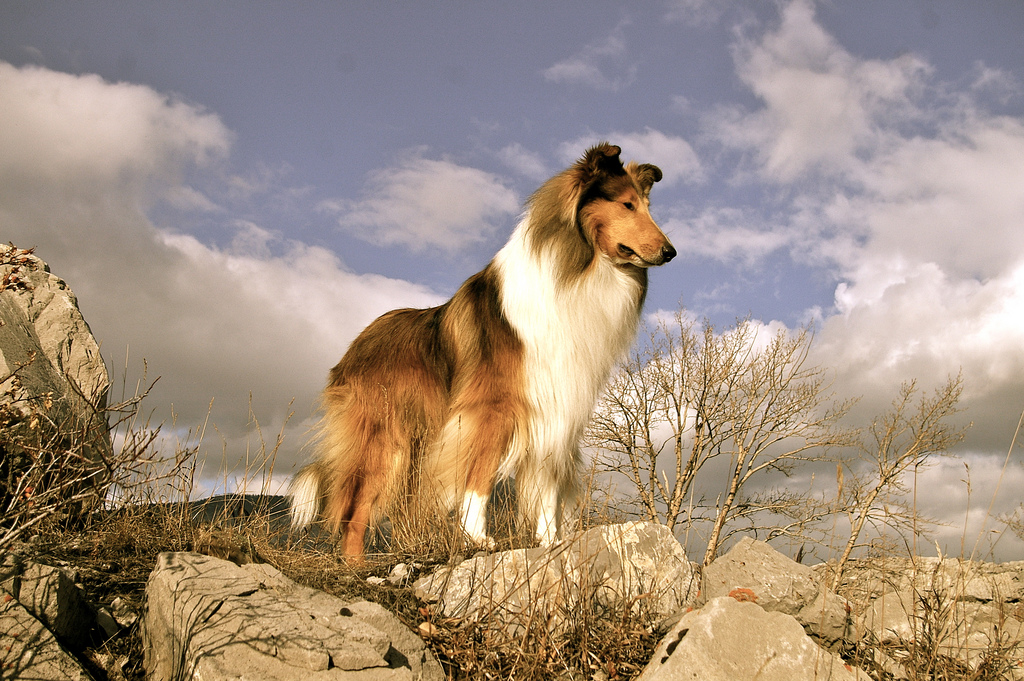 Пастушья шотландская овчарка колли