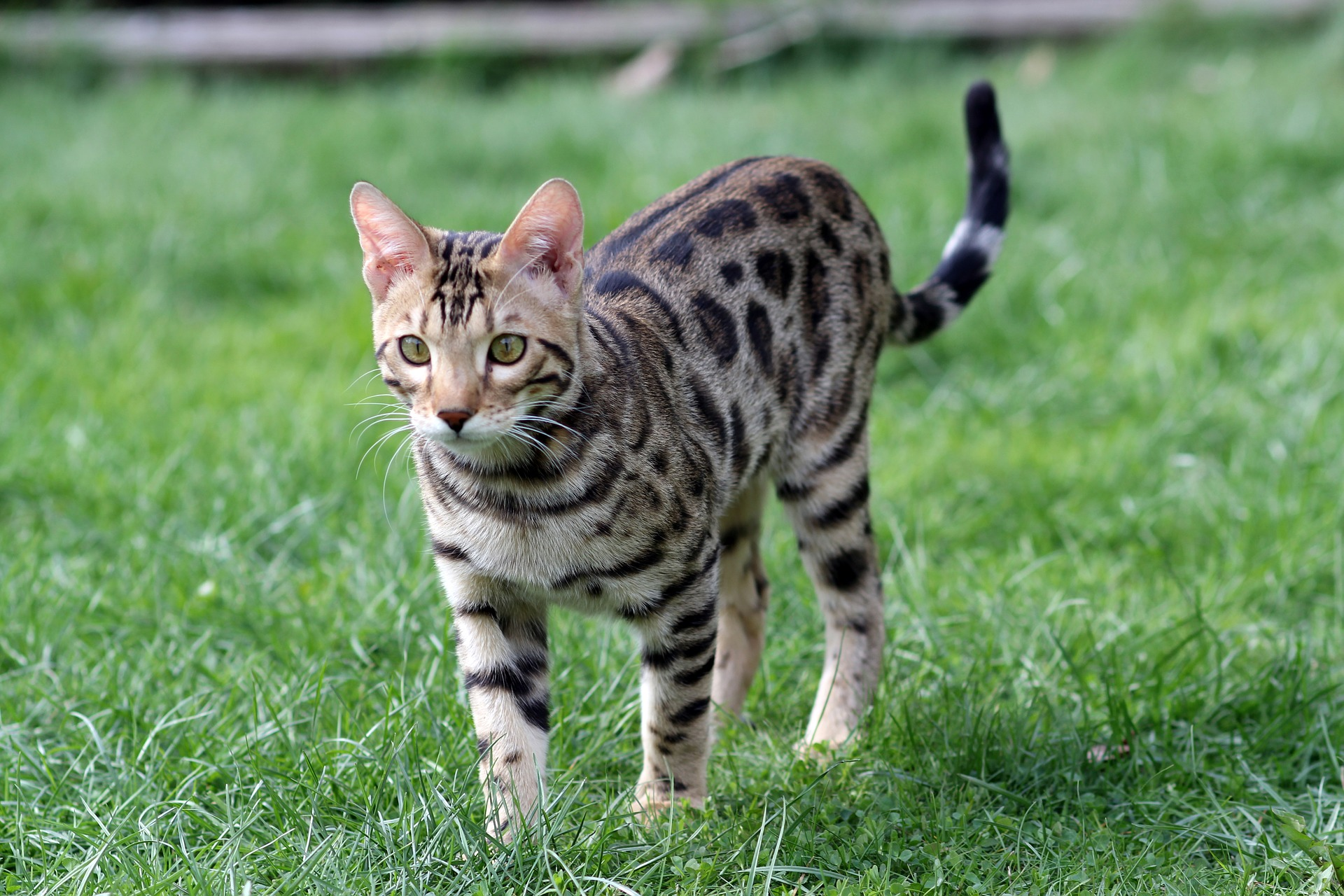 полосато пятнистые породы кошек