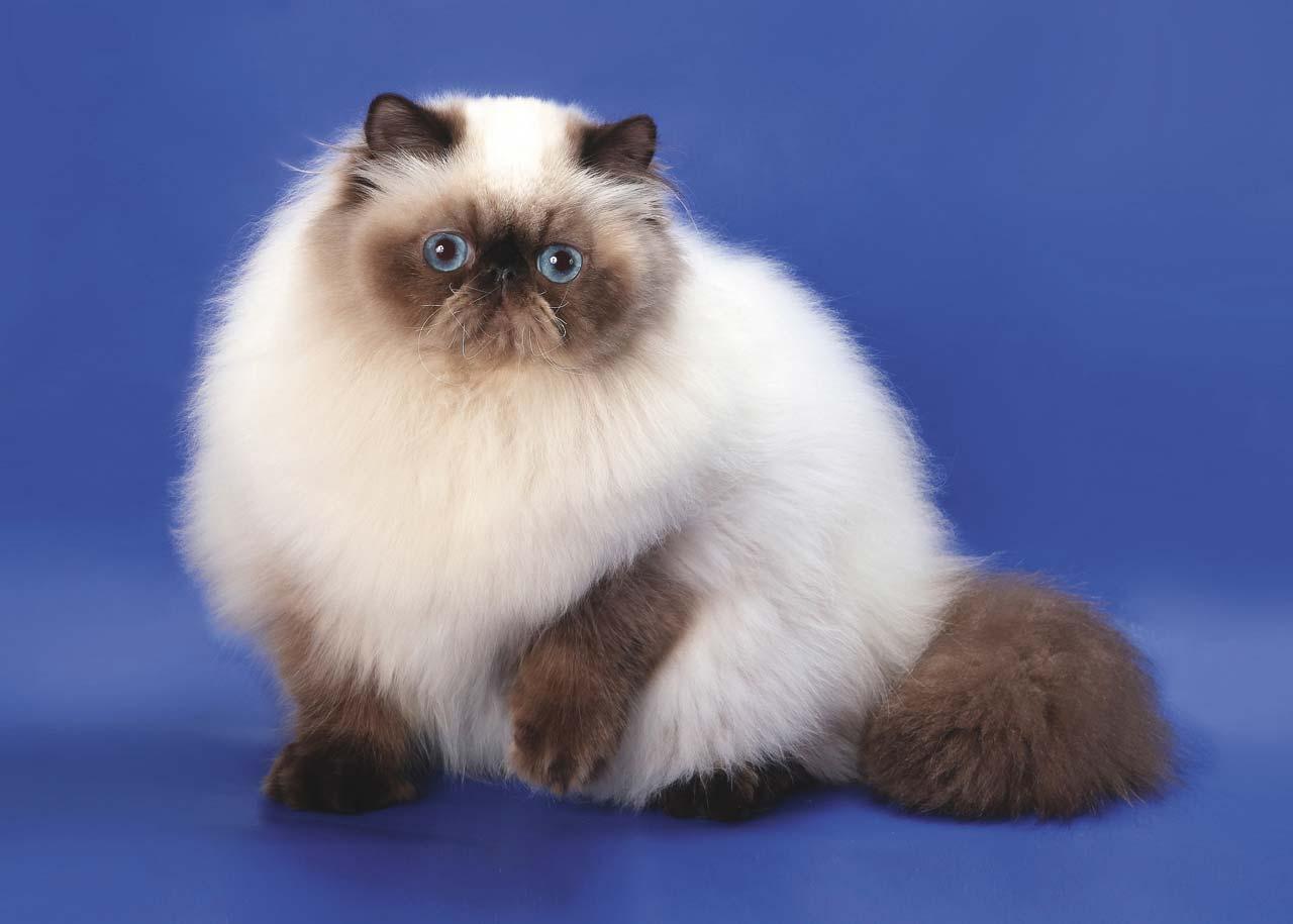 популярные в России и в мире породы кошек