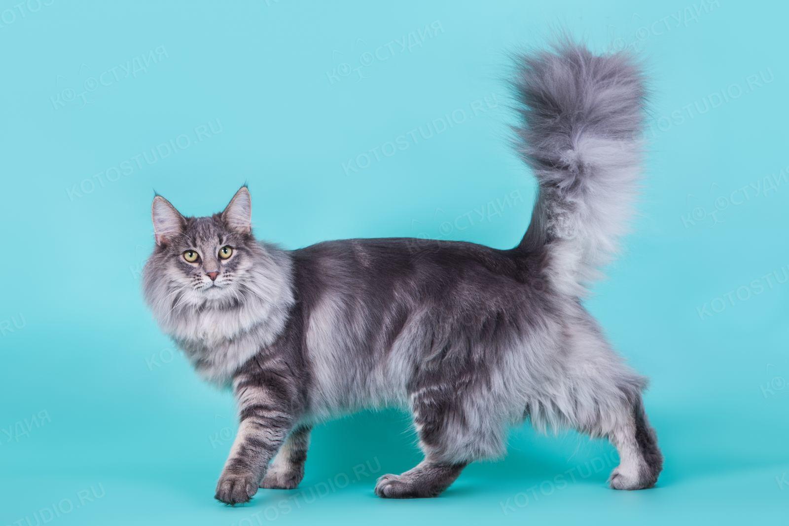 порода кошек лесная норвежская