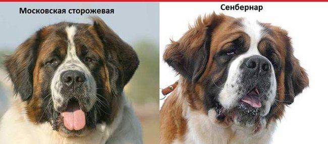породы собак похожие друг на друга