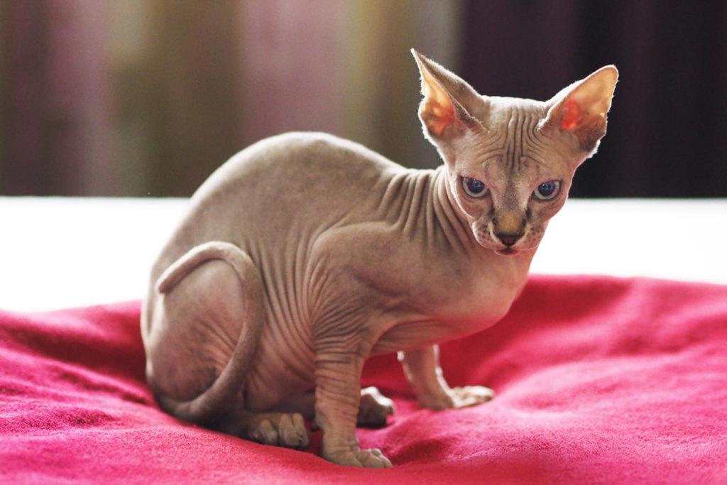 сфинкс кошка