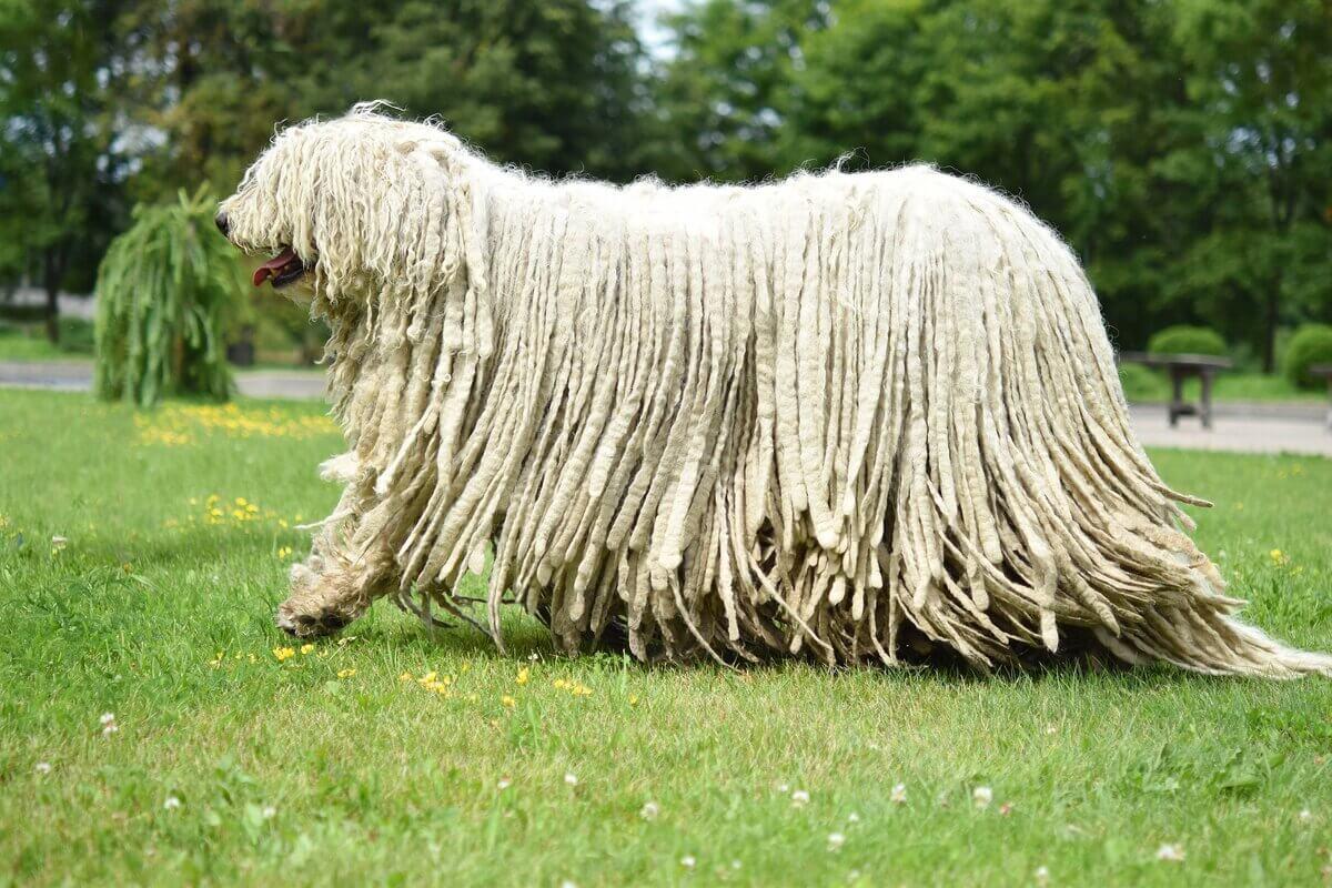 Венгерские овчарки