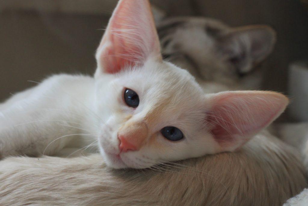 Яванские коты