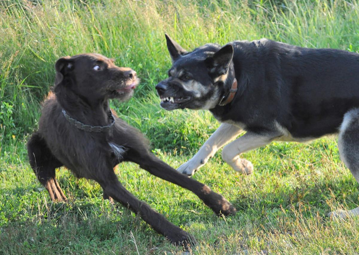Агрессия собаки к другим собакам