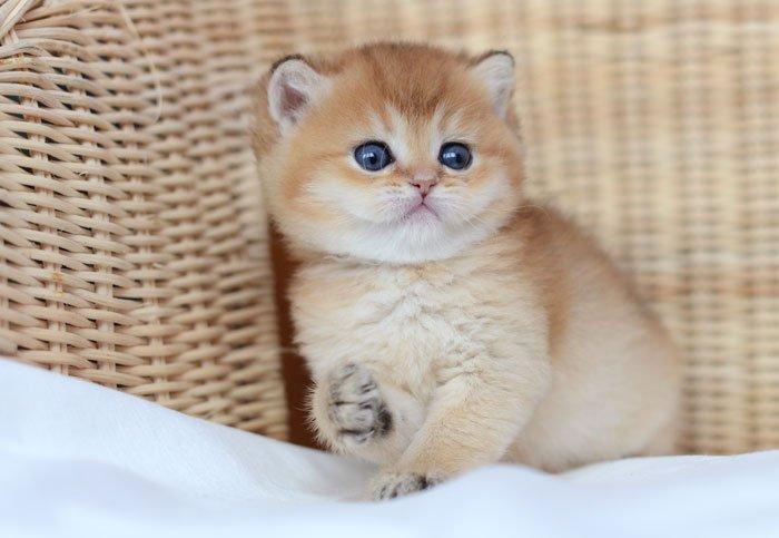 Британская Шиншилла котенок