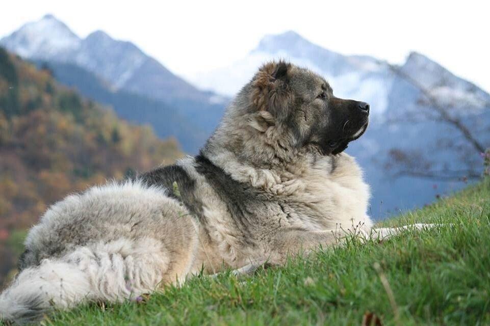 Грузинская овчарка