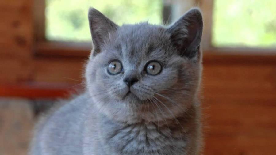 имя британскому котенку мальчику