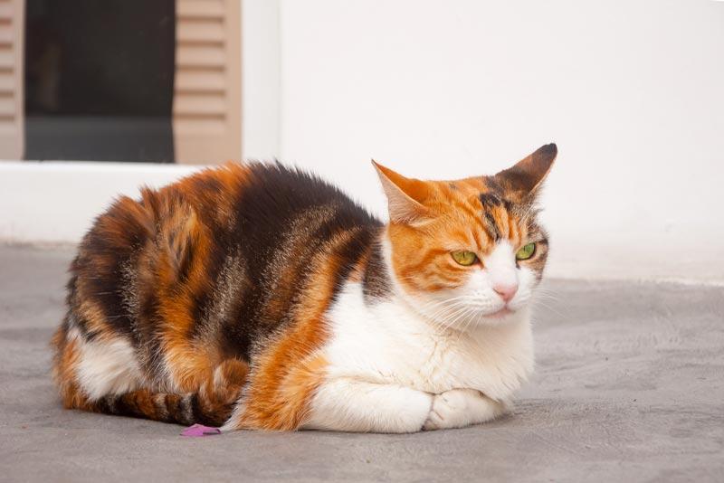 Как назвать трёхцветную кошку