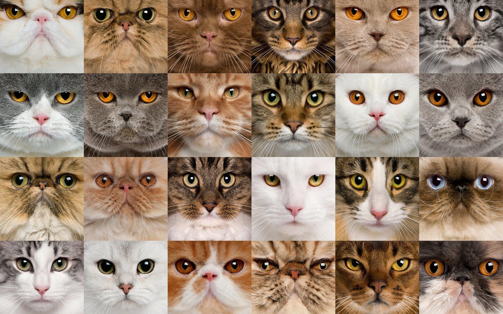 как определить какой породы кошка