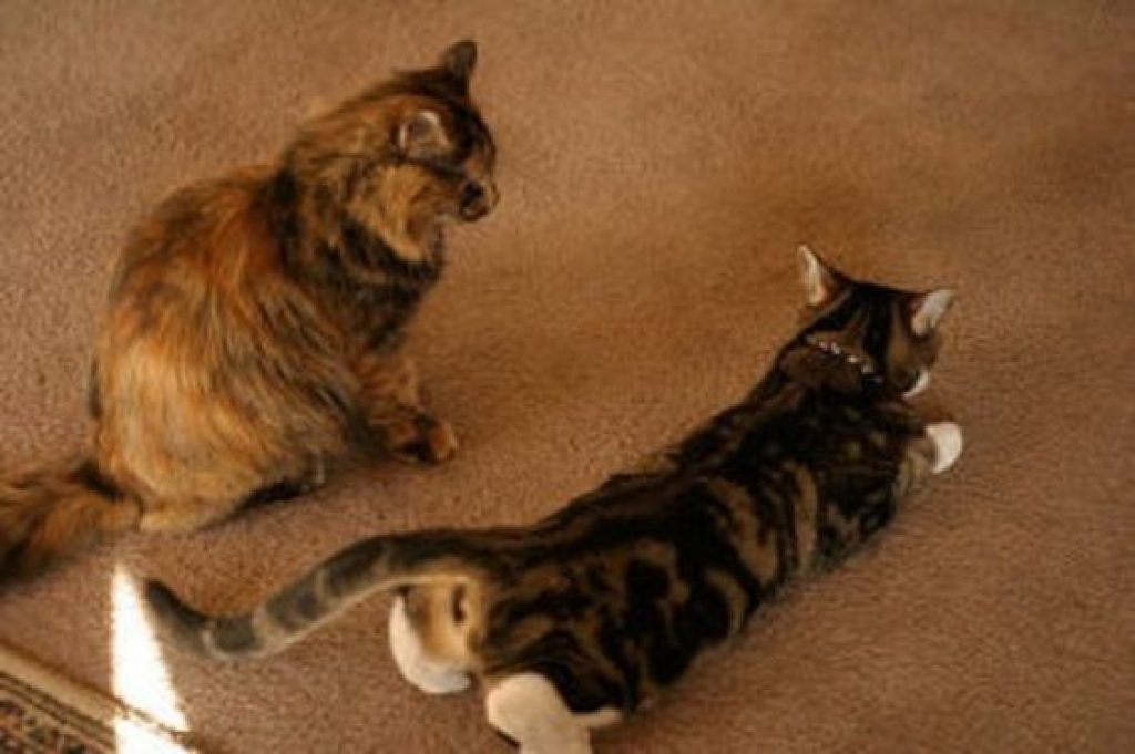 как успокоить кошку просящую кота