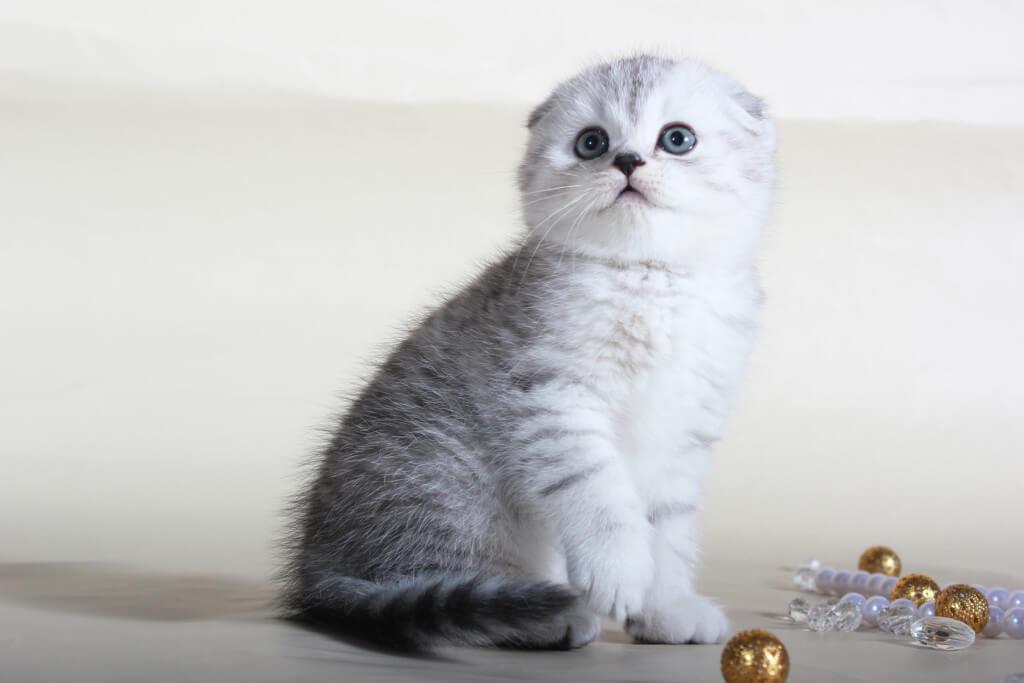 клички для шотландцев вислоухих кошек девочек