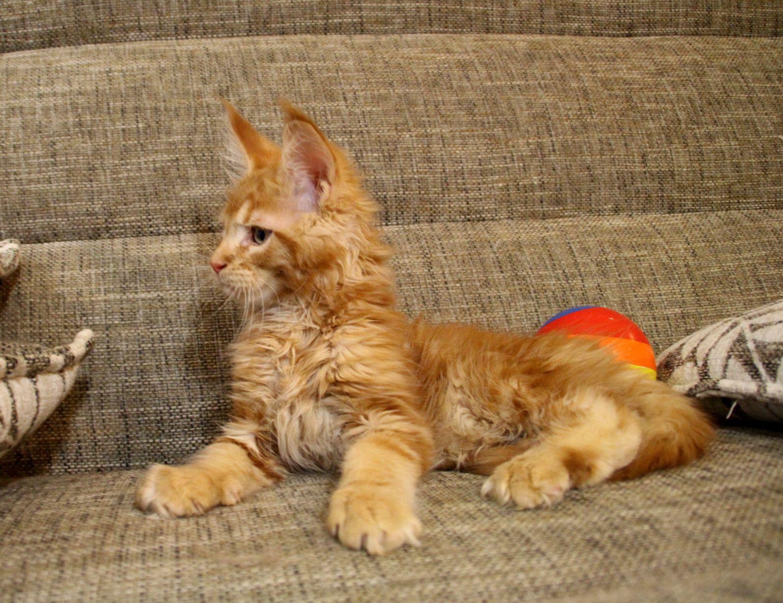 Котята мейн-куна как растить