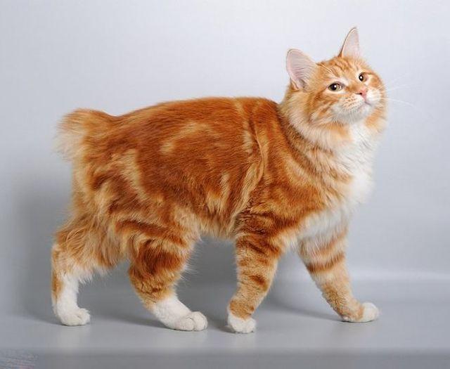 Курильский бобтейл описание породы кошек