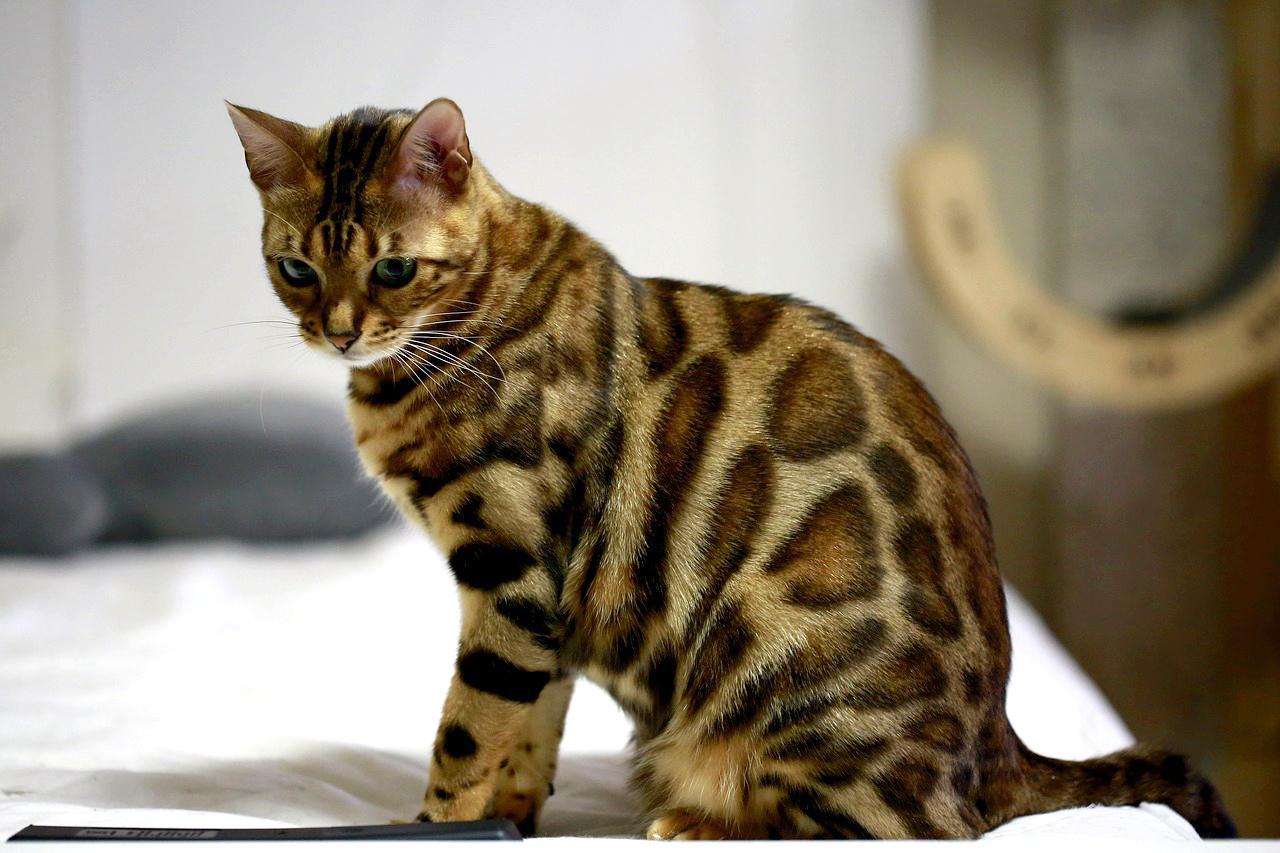 Особенности поведения Бенгальских кошек