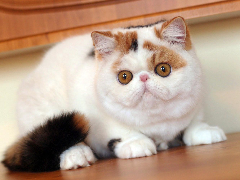 Плюшевая порода кошек
