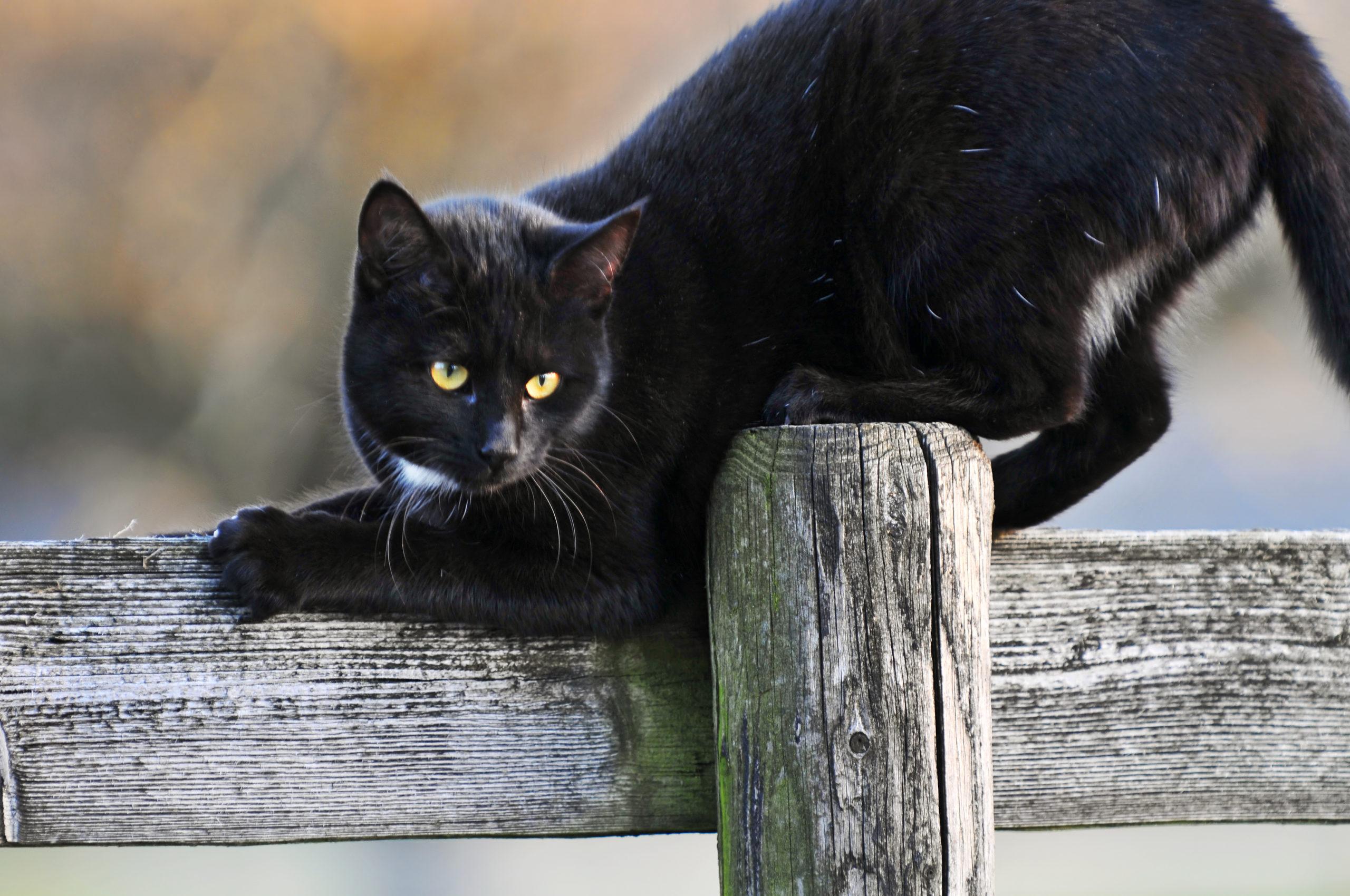 почему черный кот в доме это хорошо