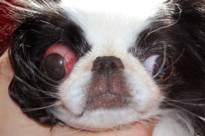 порода собак у которых выпадают глаза