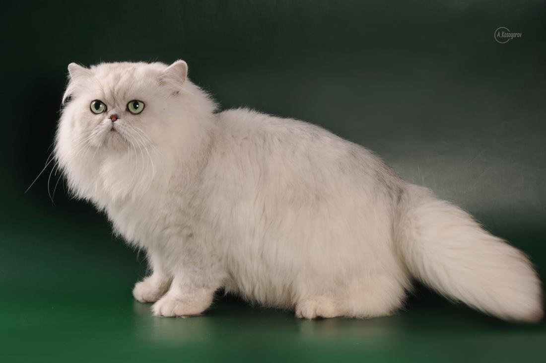 Самые здоровые породы кошек