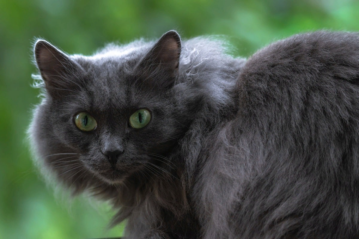 сибирская голубая кошка характер