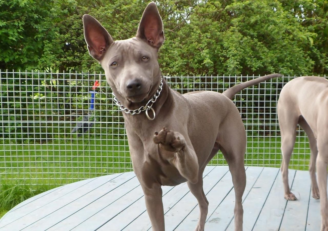 тайваньская порода собак