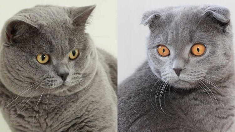 В чем отличие между британскими и шотландскими кошками