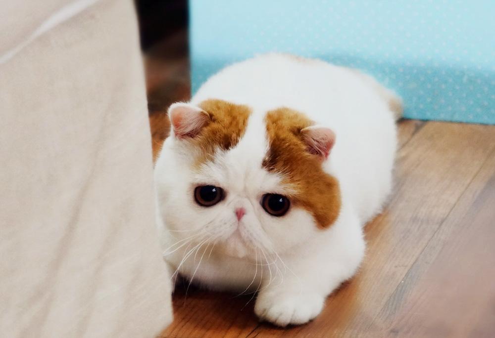 японские породы кошек