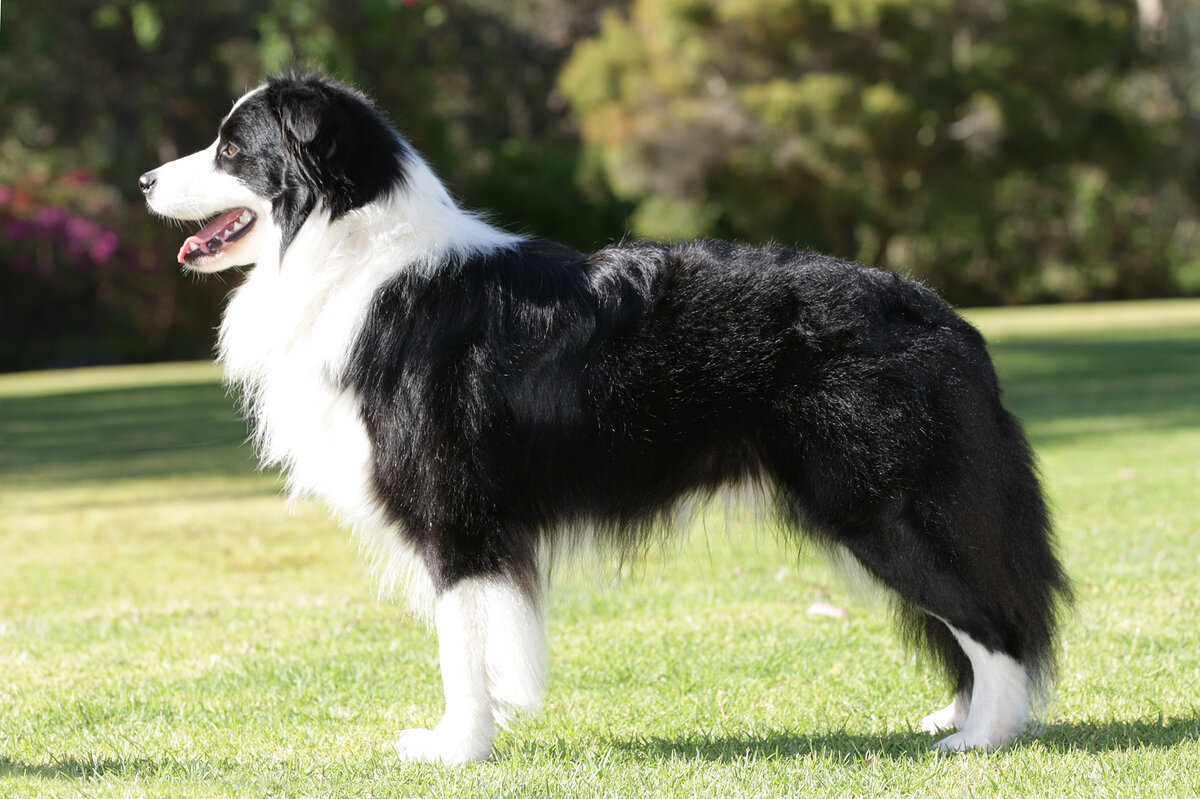 Чёрно белая собака